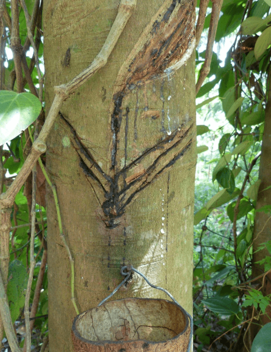 Collecting Natural Rubber - Sri Lanka