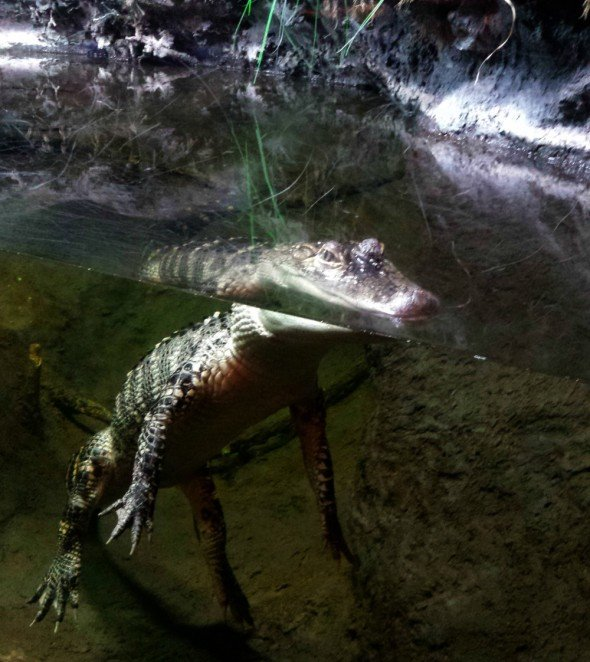 alligator at NC Aquarium at Pine Knoll Shores