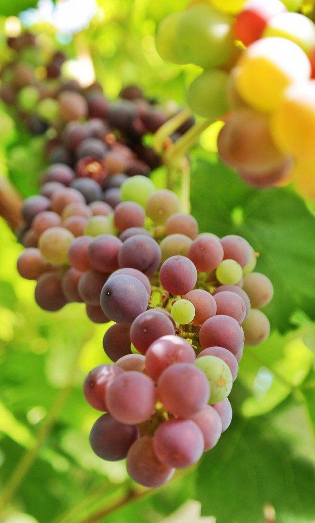 grapes inside a greenhouse | Photo: Katja Presnal @skimbaco